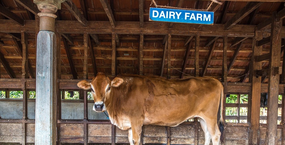 cow at the Dairy organic Farm of Dune Eco Village and Spa