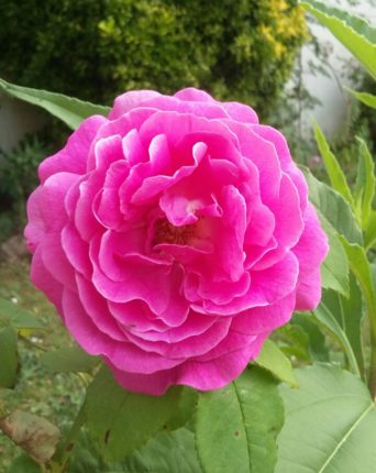 Rose-Madame-Isaac-Pereire-